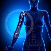 Female Humerus - Anatomy Bones