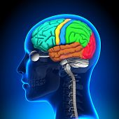 Female Brain Anatomy - Colored