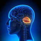 Female Cerebellum - Anatomy Brain