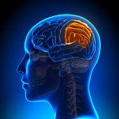 Female Parietal Lobe - Anatomy Brain
