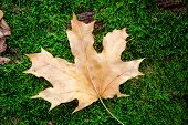 Autumn maple leaf on green moss background