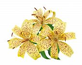 stock photo of stargazer-lilies  - tiger lily flowers on a white background - JPG