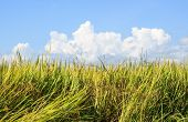 Green Paddy Rice Plant And Blue Sky Background