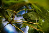 image of camoflage  - A green katydid does its best impression of a leaf while blending into the foliage of a tree with its natural camoflage - JPG