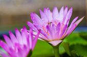 Water Lily With Insects
