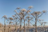 picture of parsnips  - cow parsnip in hoarfrost against the sky - JPG