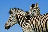 Portrait of two plains (Burchells) zebras (Equus burchelli), Mokala National Park, South Africa