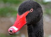 Head of Australian Black Swan.