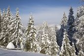 Winter landscape with high spruces and snow in mountains