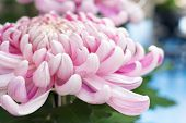 Pink Autumn Chrysanthemum