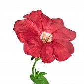 Red Petunia Isolated On White Background