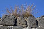 Grass on an anicent wall of Beit She'an