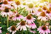 Beautiful Echinacea Flowers