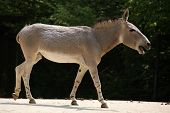 Somali wild ass (Equus africanus somaliensis).