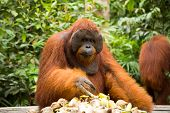 Orangutan eating food.