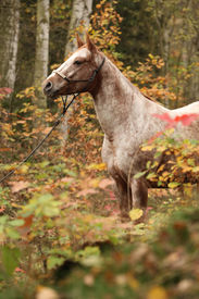 stock photo of appaloosa  - Portrait of nice appaloosa mare standing in autumn forest