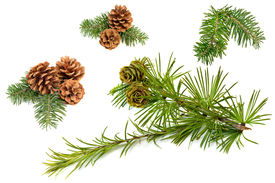 foto of cone  - Fir branches with cones isolated on white background - JPG