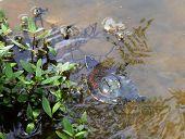 image of terrapin turtle  - Malayan snail - JPG