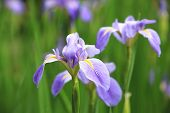 picture of purple iris  - Iris - JPG