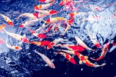 stock photo of fish pond  - Red gold and white koi fish in a pond - JPG