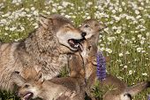 foto of wildflowers  - Frisky wolf puppies playing with their mother in a wildflower meadow - JPG