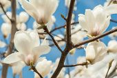 pic of magnolia  - White Magnolia Flowers on the Tree with a sky as a background