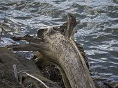 stock photo of driftwood  - Tree Driftwood with Trunk and Roots - JPG