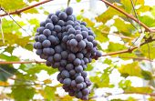 Постер, плакат: Bunche of blue grapes on vine