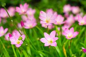 picture of lily  - Pink Zephyranthes Lily Rain Lily Fairy Lily Little Witches in the garden