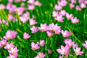 stock photo of lily  - Zephyranthes Lily or  Rain Lily or Fairy Lily or Little Witches in the garden - JPG