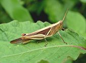 stock photo of differential  - Differential Grasshopper eating a leaf, macro in green nature or in the garden