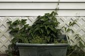 picture of planters  - A planter with ivy set behind a house in a city back yard - JPG