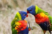 stock photo of lorikeets  - A closeup of two fighting parrots  - JPG