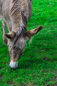 stock photo of donkey  - A donkey is grazing on grass at a meadow - JPG