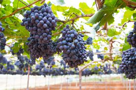 stock photo of grape  - Large bunch of red wine grapes hang from a vine - JPG