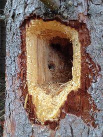 stock photo of woodpecker  - Woodpecker hole  - JPG