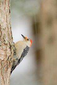 stock photo of woodpecker  - Red - JPG