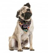 picture of pug  - Pug sitting and wearing a scarf in front of a white background - JPG