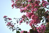 image of crepe myrtle  - Pink colored crepe myrtle blooms in morning light - JPG