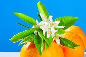 stock photo of valencia-orange  - Oranges with orange blossom flowers in spring on blue background - JPG