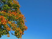 Broad-leaved tree in autumn
