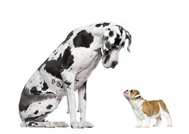 foto of great dane  - Great Dane looking at a French Bulldog puppy in front of a white background - JPG