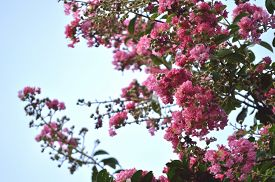 image of crepes  - Pink colored crepe myrtle blooms in morning light - JPG