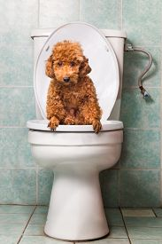 pic of pooping  - Concept of smart poodle dog pooping into toilet bowl - JPG