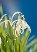 stock photo of snowbell  - Snowdrop flowers - JPG
