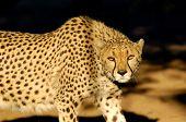 Leopard in the sabi sand reserve