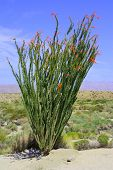 pic of ocotillo  - Ocotillo cactus flower blossoms taken on sand dunes during spring - JPG