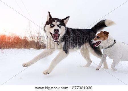 Siberian husky and jack russel