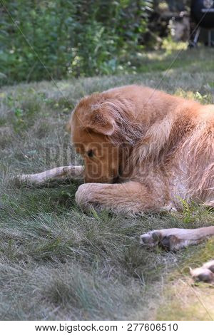 poster of Cute Yarmouth Toller Dog Sniffing The Ground While Resting.
