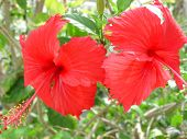 Two Pink Hibiscus